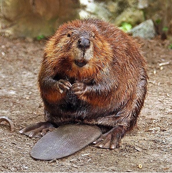 Colonies_Beaver