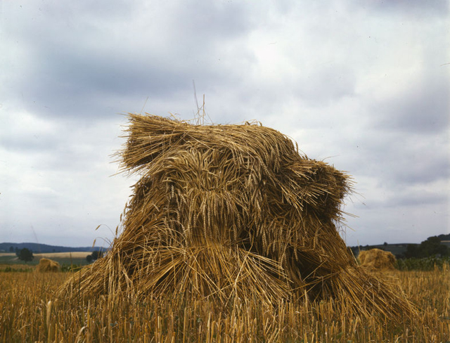 Colonies_Wheat_Pennsylvania